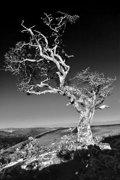 Hawthorn by McKenzie