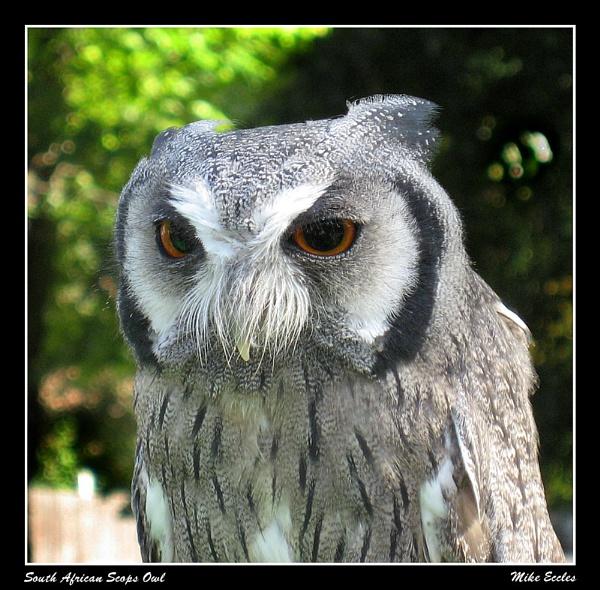 Scops Owl by oldgreyheron