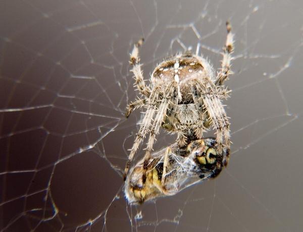 Spiders 1, Wasps 0. by tavm