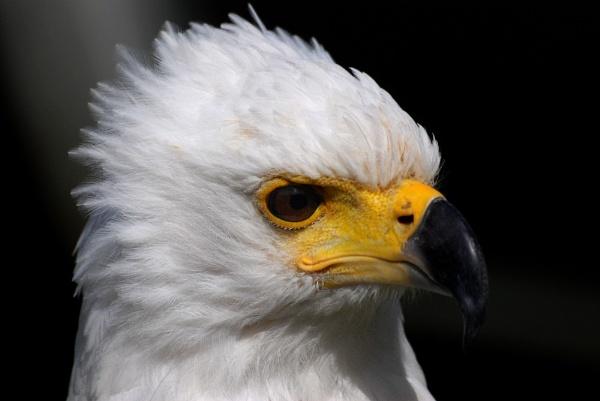 Eagle by stevebidmead