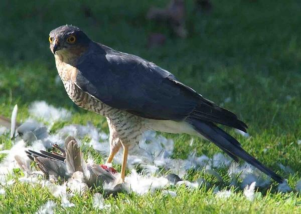 Sparrow Hawk by Thincat