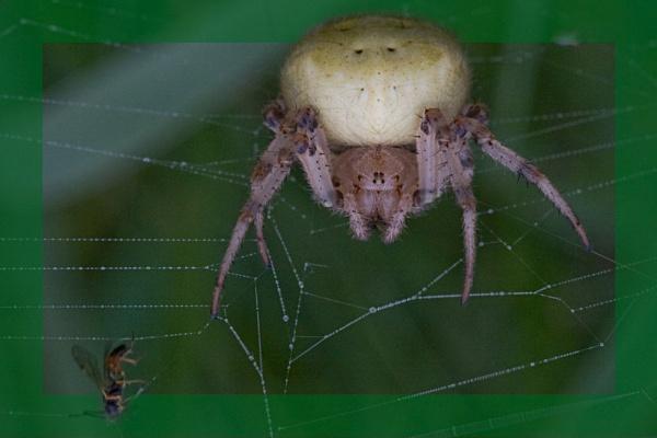 SPIDER by csr