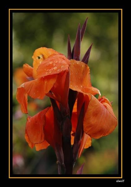 Orange by akw