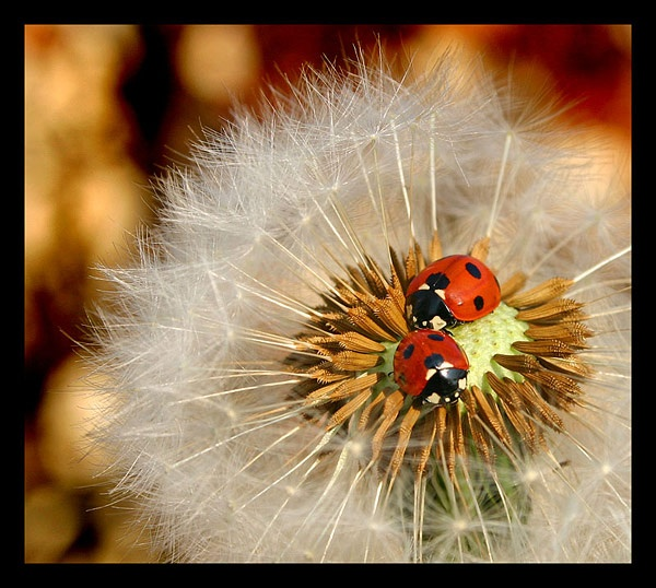 Ladybirds in Spring by semerson