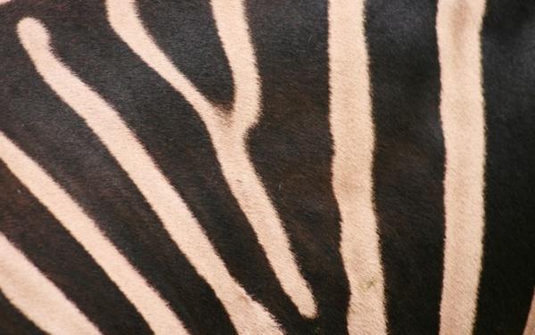 Stripes by Costy