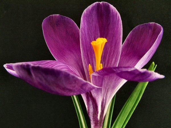 Purple-Crocus by Arty