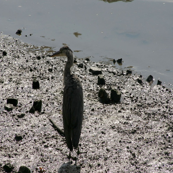 Heron by the Thames by chrisskipp