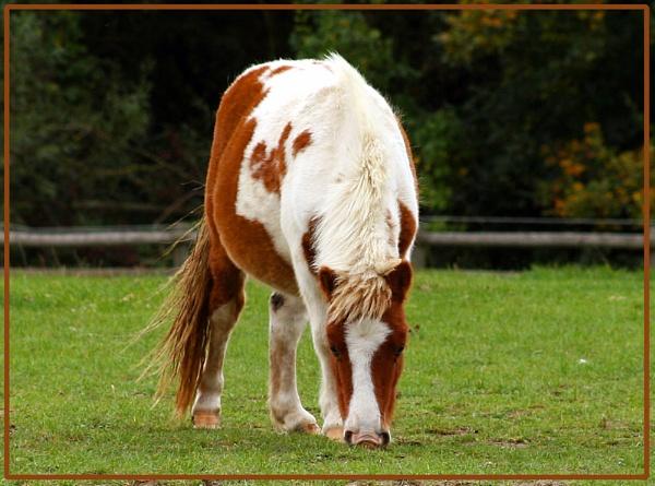 Shetland Pony by una