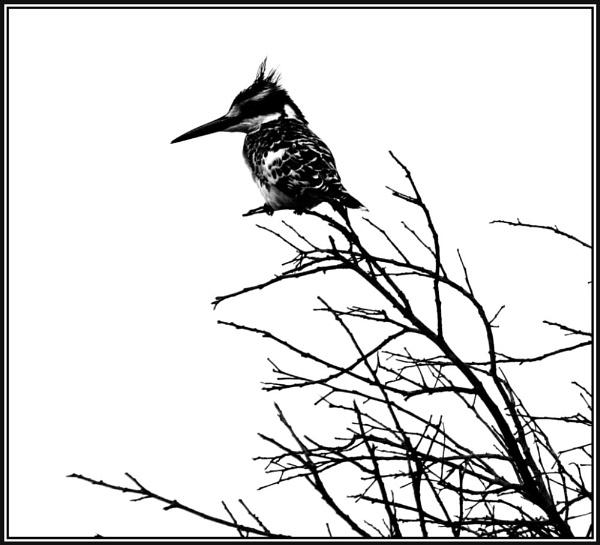 Pied Kingfisher by X5DJM