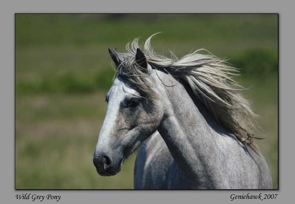 Wild Grey Pony by geniehawk