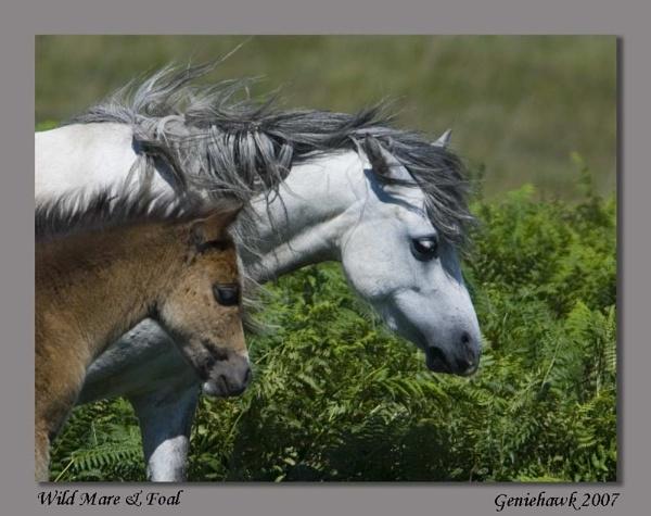 Wild Mare & Foal by geniehawk