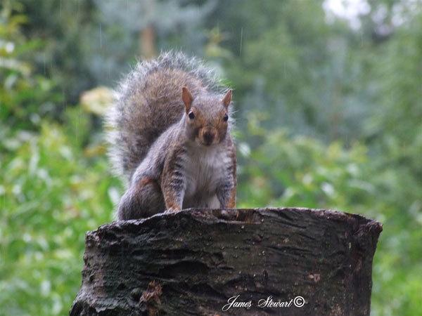 Squirrel by jjimmyjimbones