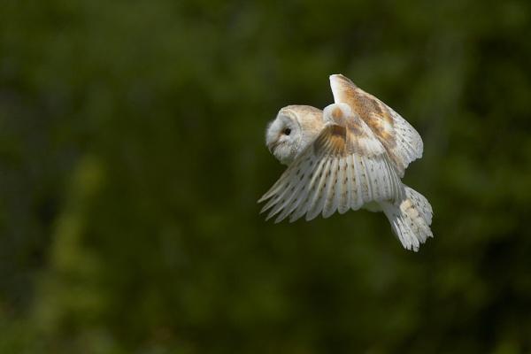 Wild Barn Owl by Ade_Osman