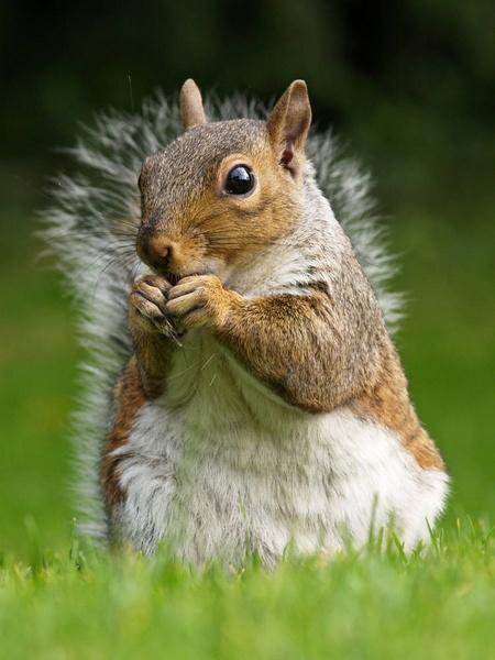 Grey Squirrel In Clumber Park by peterkin
