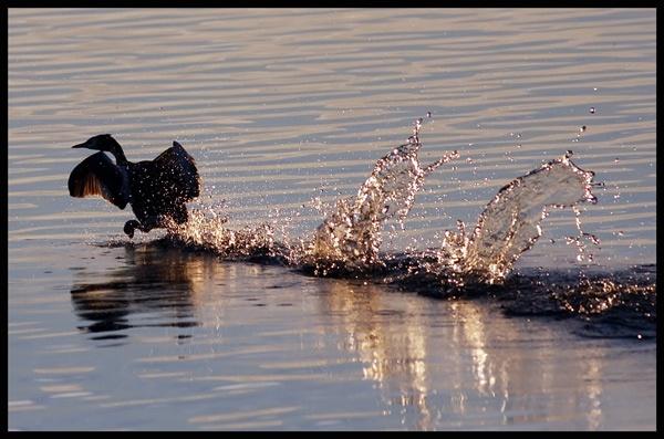 Grebe Splash by francisr