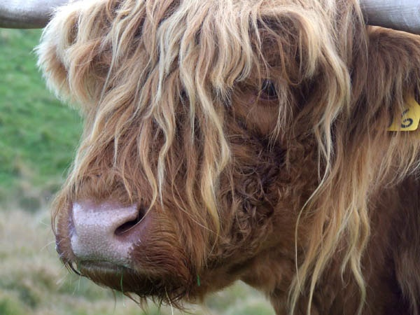 Highland cow (Welsh!!) by catrinarthur