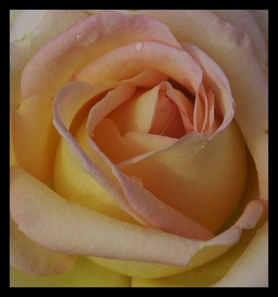 Autumn Rose by yasika