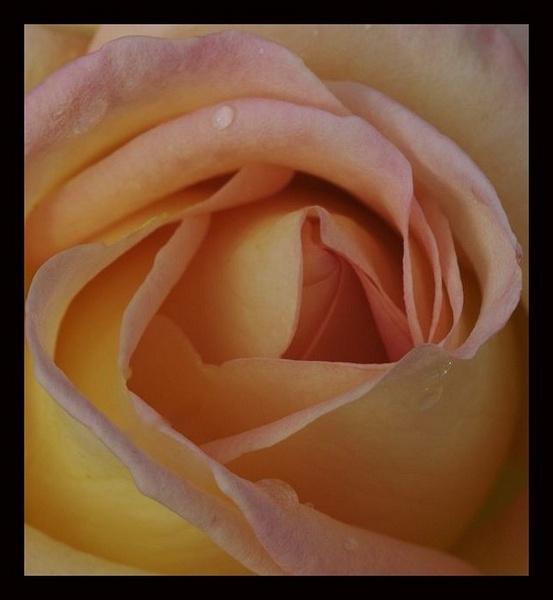 Autumn Rose II by yasika