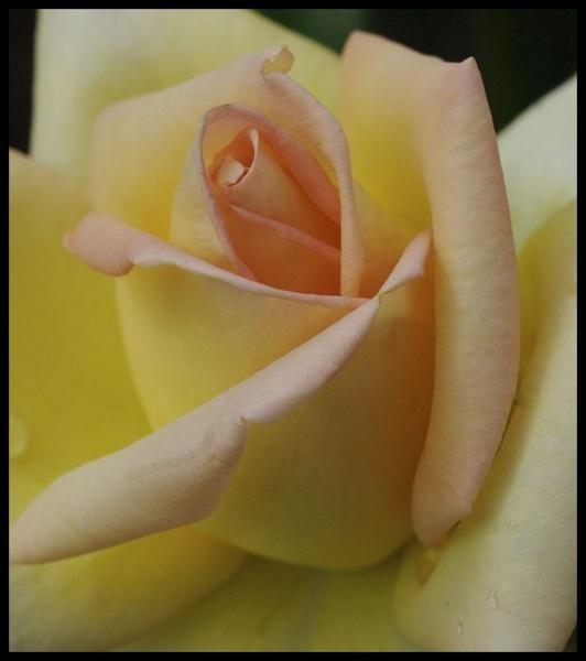 Kew Rose by yasika