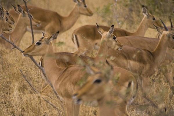 Impala by ben_stubbens