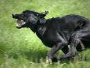 Dog at speed