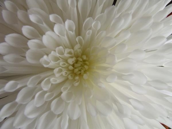 WHITE FLOWER by JAILER68