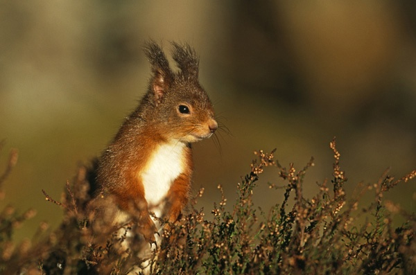 Red Squirrel by Don_Hooper