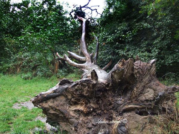 Fallen tree by jjimmyjimbones