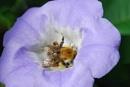 Bee on Nicandra plant