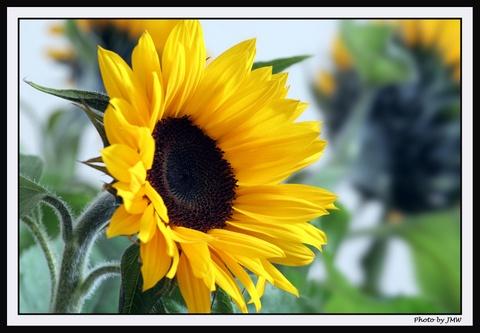 Sun Flower by johnmw