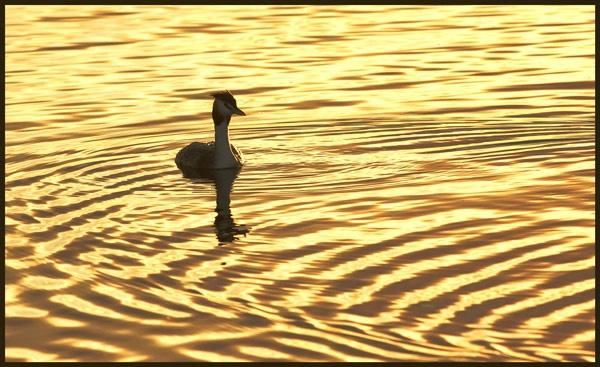 Grebe at Sunset by francisr