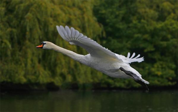 Swan in flight by teddy