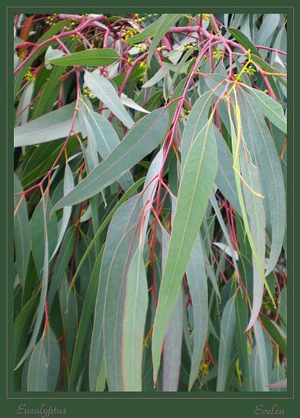 eucalyptus  tree by evelen