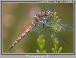 October Dragonfly