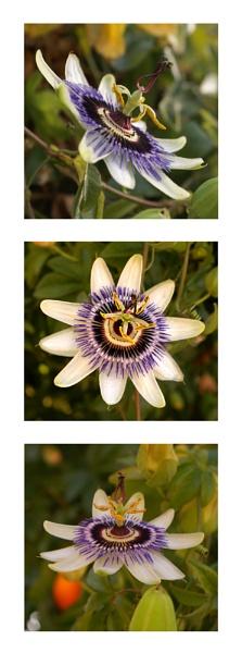 passion fruit flower by iajacks