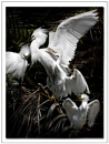 Snowy Egret 2 by maures53