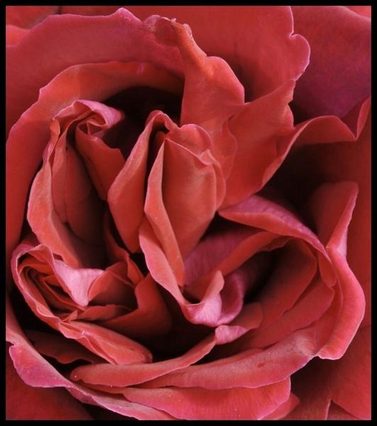 Velvety Red Rose by yasika