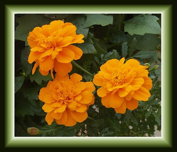 Marigolds by JimV