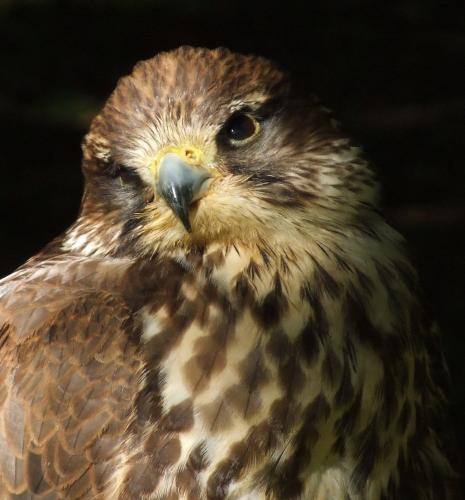 Lanner Falcon by NatalieCHurrell