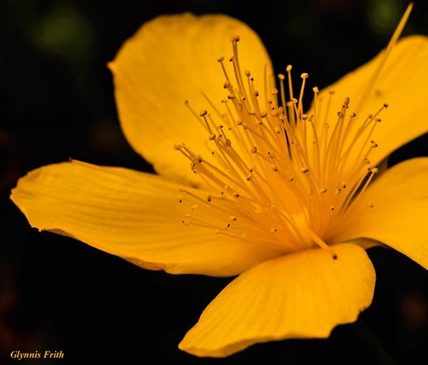 Sunny Flower by GlynnisFrith
