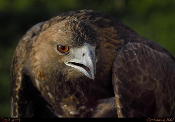 Eagle Study by geniehawk