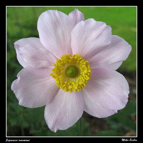 Japanese anemone by oldgreyheron