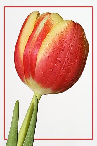 Tulip by RSaraiva