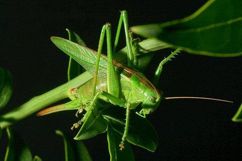 Green Green Grasshopper near home by ORCHIDCUSTOMER