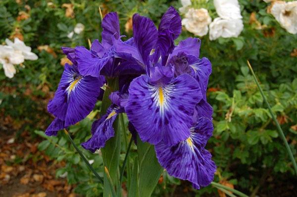 Iris by BillM