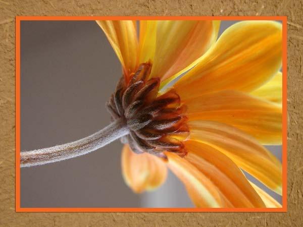 Orangegina by madusa1