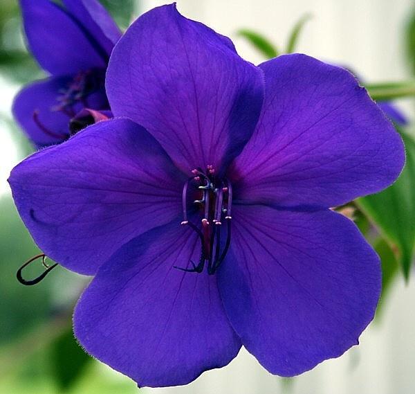 Purple Flower by Scoff_Too
