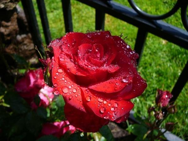 Rose So Sweet by julz555