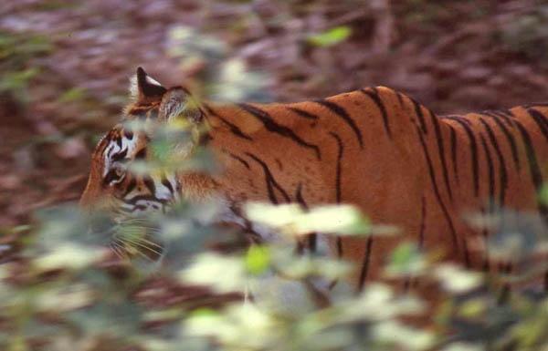 Wild Tiger by matt5791