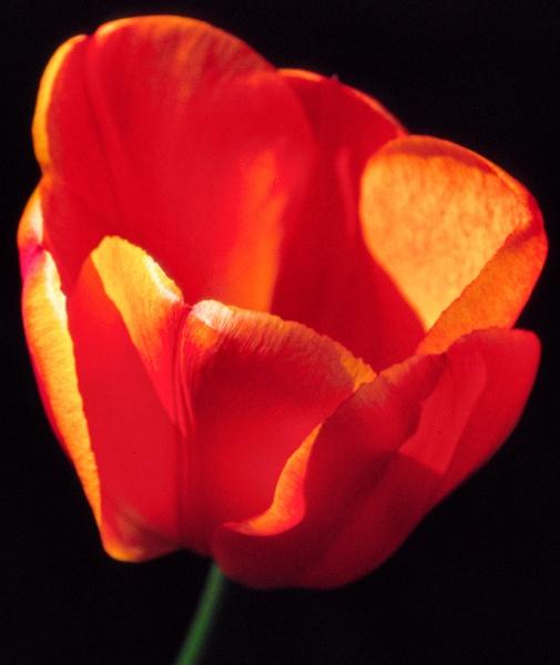 Orange Tulip by ckristoff